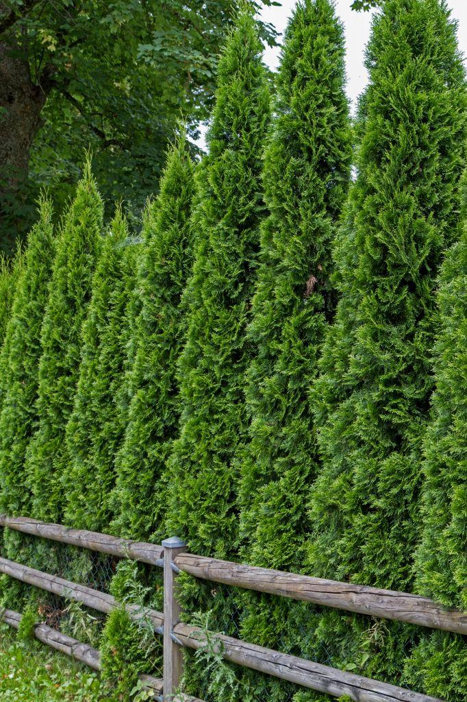 Туя или можжевельник: что лучше для сада